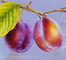 Wild plum - Prunus domestica by Sarah Trett