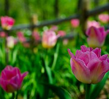Pink Tulip Garden by Tim Ray