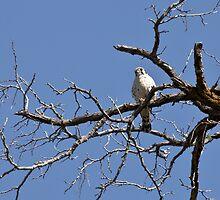 "American Kestrel ""Sparrow Hawk"" by c painter"