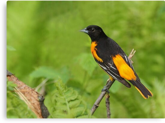 Baltimore Oriole by Bill McMullen