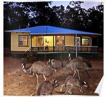 Kangaroos and Emus Poster