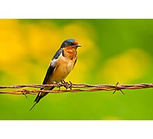 Barn Swallow On Barbwire Photographic Print