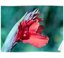 Canna Lily Show Off Poster