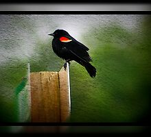 Red Winged Black Bird by AngieBanta