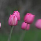 Pink Tulips by Jason Dymock Photography