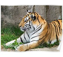 tiger with rock background Poster