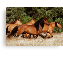 Chief and his Mares 2 Canvas Print