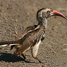 Red-billed Hornbill by naturalnomad