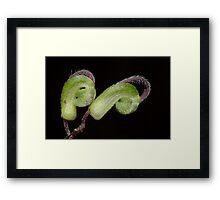Green Spider Flower - Grevillea mucronulata Framed Print