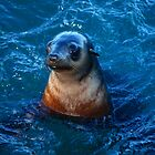 Seal - Seal Rocks Colony - Phillip Island by Deb Gibbons