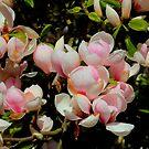Pink magnolia in full bloom - Arley Hall in Cheshire by Debu55y