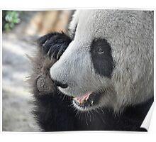 Adelaide's Panda Bear Poster