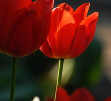 Tulip in sunshine lighting by Antanas
