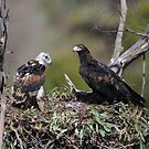 Wedge tailed Eagle  by Donovan Wilson