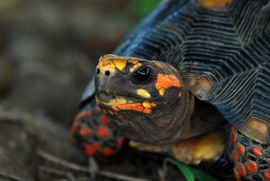угольная черепаха, красноногая черепаха