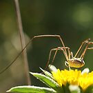 Spider on Flower by marens