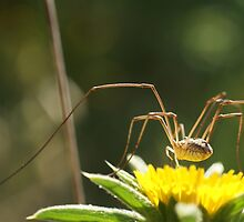 Spider on Flower by marens