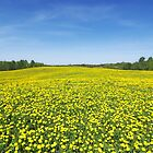 Yellow Fields by Martins Blumbergs