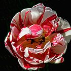Peppermint Tulip by barnsis