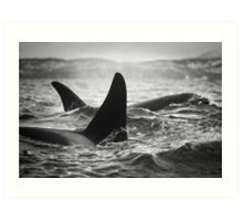 Orca Crossing - Tysfjord, Norway Art Print