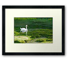 Swan on the River Lathkill Framed Print