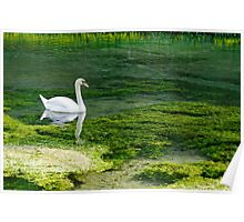 Swan on the River Lathkill Poster