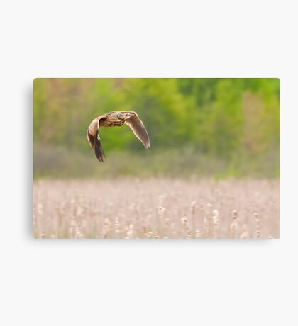 American Bittern In Flight Canvas Print