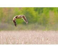 American Bittern In Flight Photographic Print