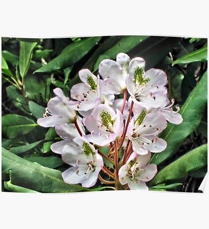 Rosebay Rhododendron - Smoky Mountains Poster