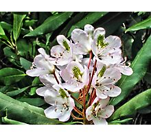 Rosebay Rhododendron - Smoky Mountains Photographic Print