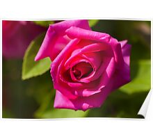 Pink Scented Rose Poster