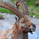 alpine ibex by neil harrison