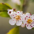 Apple Blossom  by Elaine123