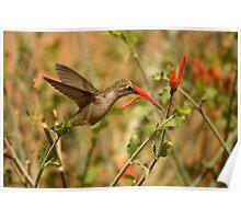 Humming Bird. Poster