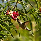 Humming Bird. by mikepemberton
