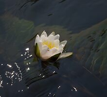 Water Lily - Cloquet River by txnymxnrxe