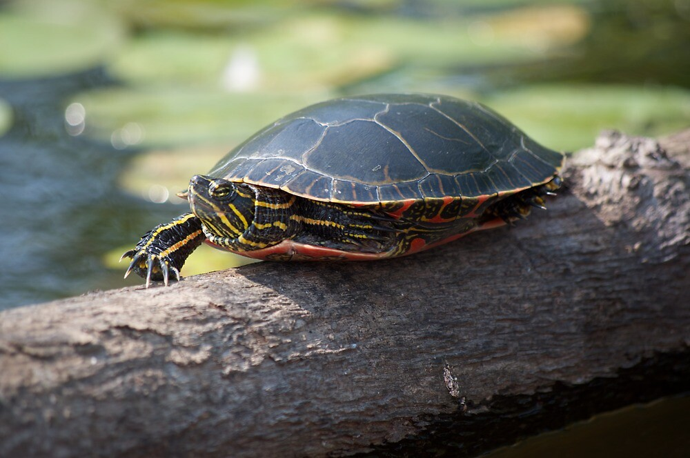 Little Turtle Trying To Hide by txnymxnrxe