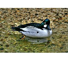 Common Goldeneye Photographic Print