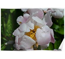 Bee flying into a white peony Poster