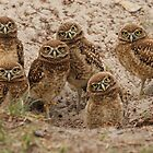 6 baby owls by Kathy Cline