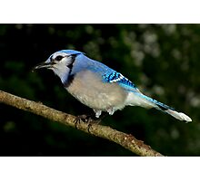 Blue Jay Enjoying a Sunflower Seed Photographic Print