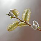 Pussy Willow  by BCkat