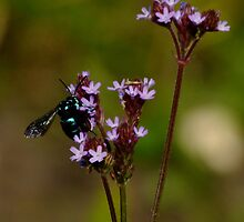 Cloak and Dagger Cuckoo Bee by Gabrielle  Lees