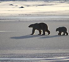 Silver Glow. Polar Bears at Sundown, Churchill, Canada  by Carole-Anne
