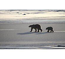 Silver Glow. Polar Bears at Sundown, Churchill, Canada  Photographic Print