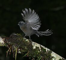 Fantail dark morph New Zealand by tiliqua
