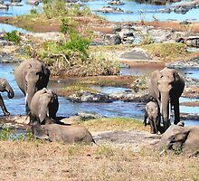 Elephants at the river, Kruger, South Africa by Margaret  Hyde