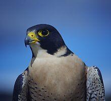 Preragrine Falcon by DavidDArnold