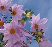 Tree dahlia, Dahlia imperialis by orkology
