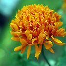 Marigold by Rainy